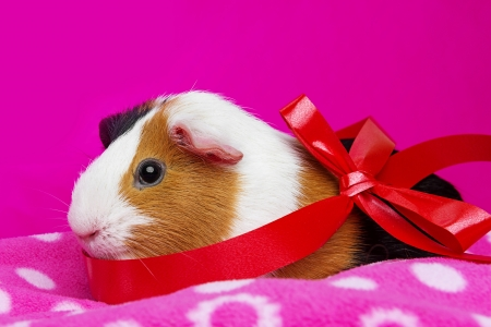 cute guinea pig with a red ribbon - pink background photo
