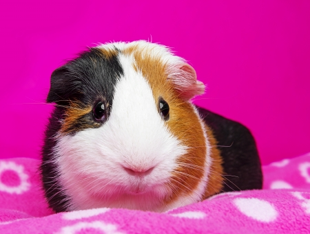 cute guinea pig - pink background photo