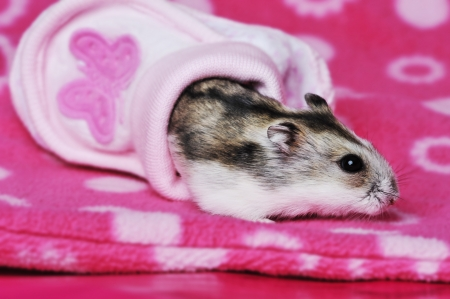cute hamster in a shoe Stock Photo - 17918091