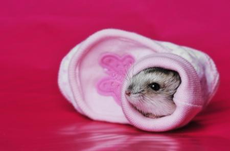 cute little hamster sleeping in a little pink shoe Stock Photo - 17931889