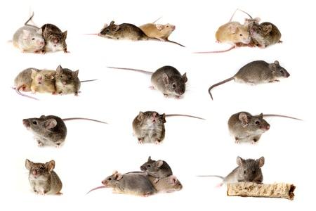 raton: ratones colecci�n