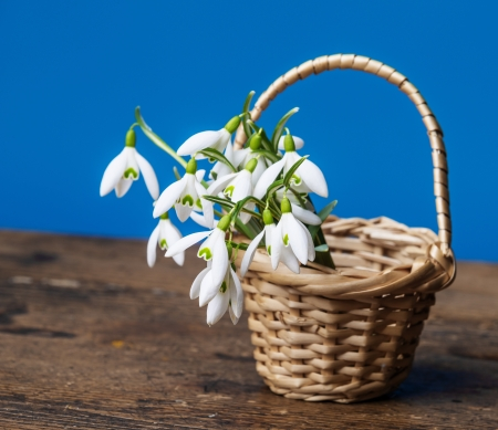 snowdrops in a little basket on old wooden table photo