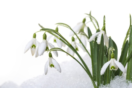 snowdrops in snow isolated photo