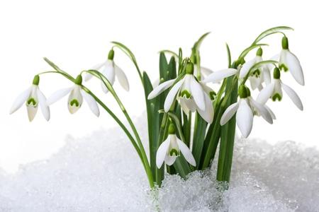 petites fleurs: perce-neige dans la neige isol� sur blanc