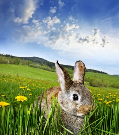 våren kanin på en äng med maskrosor
