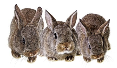 a little brown rabbits isolated on a white background photo