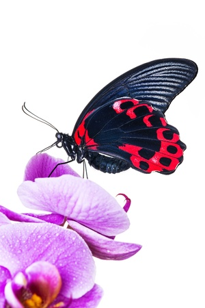 exotic butterfly sitting on an orchid isolated photo