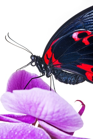 exotic butterfly sitting on an orchid - detail photo