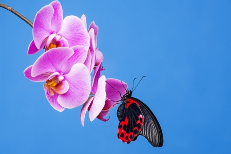 red and black exotic butterfly sitting on an orchid photo