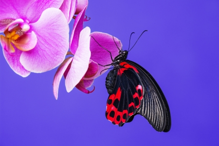 red exotic butterfly on an orchid photo
