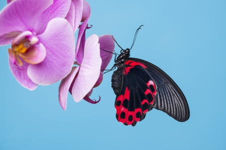 tropical butterfly sitting on an orchid - blue background photo