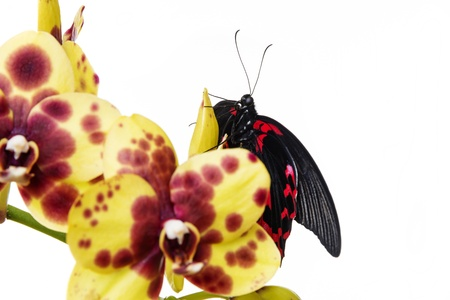 tropical butterfly on an orchid in the detail photo