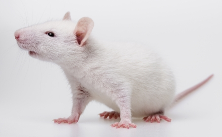 white rat - pet Stock Photo - 19092001