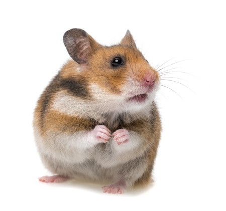 dwarf hamster: sitting hamster isolated on a white background