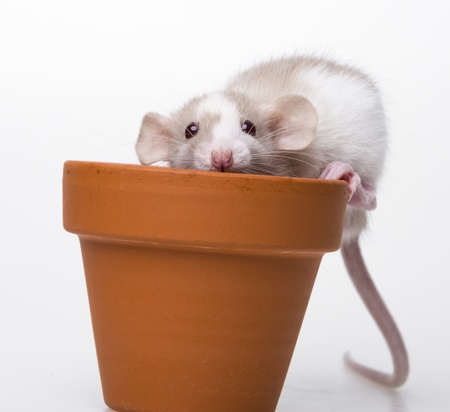 cute little mouse - white background Stock Photo - 19130443