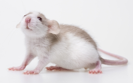 cute little mouse isolated on a white background Stock Photo - 19130445