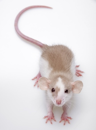 furry animal: un peque�o rat�n lindo en un fondo blanco