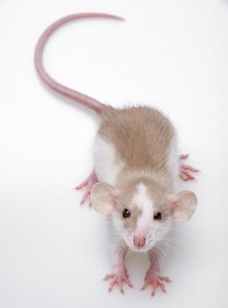 furry animals: un topolino carino su uno sfondo bianco
