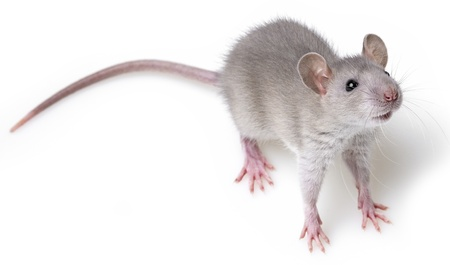 grey rat isolated on white background