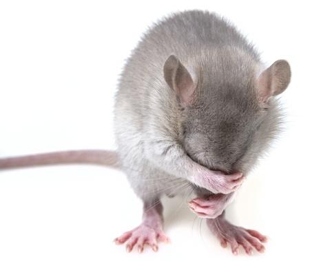rat: a little mouse hiding her muzzle Stock Photo