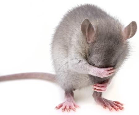 pests: little mouse hidingher muzzle