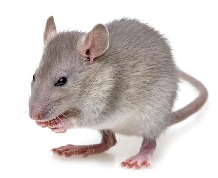 mus: en liten råtta äter något