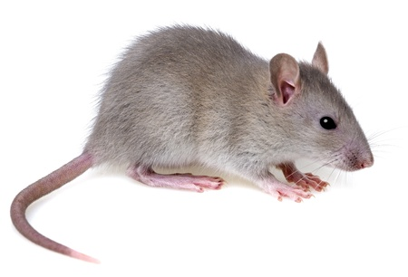 a little mouse  Stock Photo