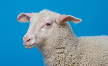 a lamb  - portrait on a blue background photo