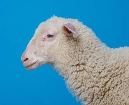 lamb  - portrait on a blue background photo
