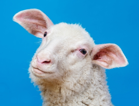 happy youg sheep  - portrait on a blue background photo
