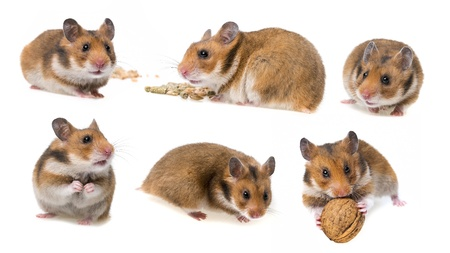 hamster isolated on white background - collection Reklamní fotografie