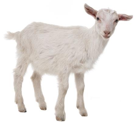koza na bílém pozadí Reklamní fotografie