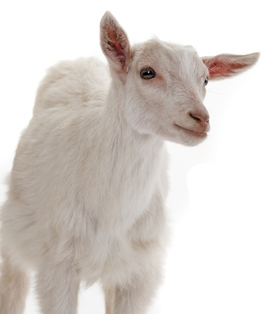 head shots: goat isolated on a white background