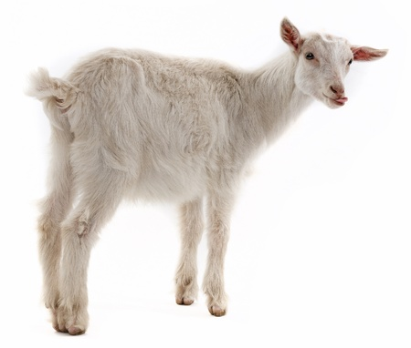 a goat isolated on white background photo
