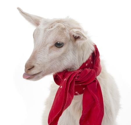 a funny goat isolated on a white background photo