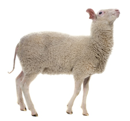 a sheep isolated on white background photo