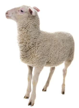a sheep isolated on a white background
