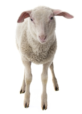sheep isolated on a white background photo