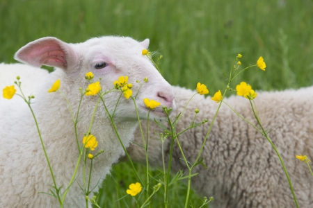 sheep and flowers photo