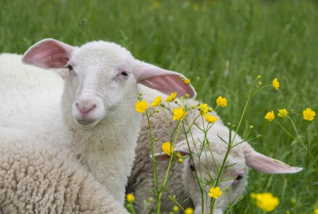 sheeps on a meadow photo