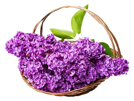 pink lilac in a basket photo
