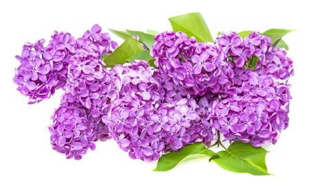 blooming. purple: a branch of lilac Stock Photo