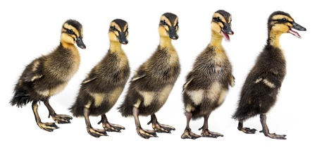 hilera: patos (pato indio del corredor) aislado en fondo blanco