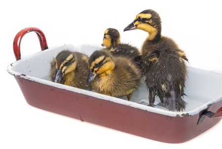 bathing duckling photo
