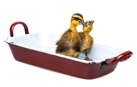 cute litle ducklings bathing in a pot photo