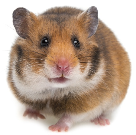 een hamster geïsoleerd op een witte achtergrond Stockfoto