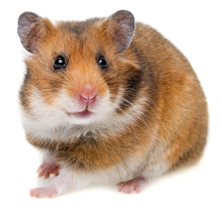 hamster isolated on a white background Zdjęcie Seryjne