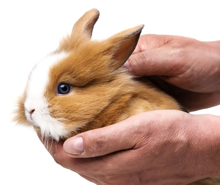 little baby rabbit in hands close up photo