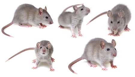 šedá kolekce potkan