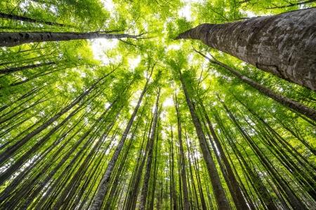 grandi alberi di faggio in legno di primavera